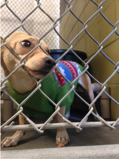 A dog at the Yolo County Animal Shelter wears a holiday sweater while whimpering and wagging her tail at people who pass by her cage.