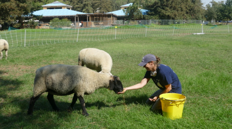 person feeds sheep