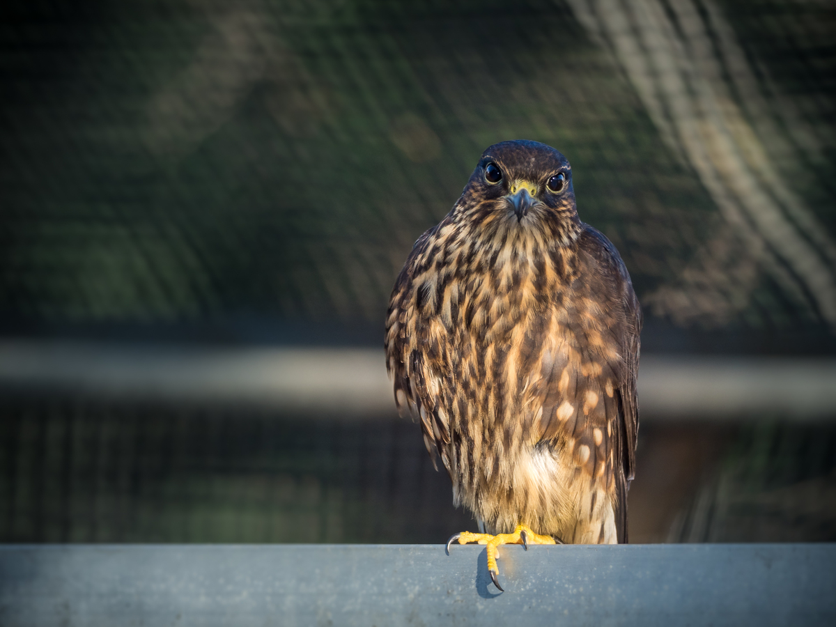 Merlin_Rehabilitation_Patient_in_Flight_Cage_by_Billy_Thein